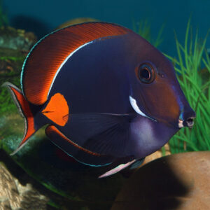 Achilles Tang named for the bright red spot as in Achilles heel