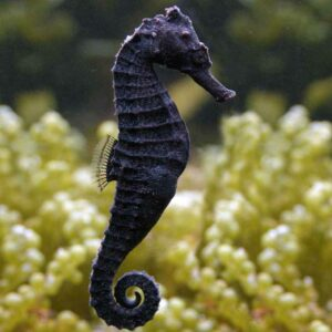 Kuda Seahorse Female buy online healthy and strong