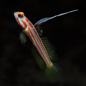 Yasha Goby striking red and white shrimp goby from the maldives