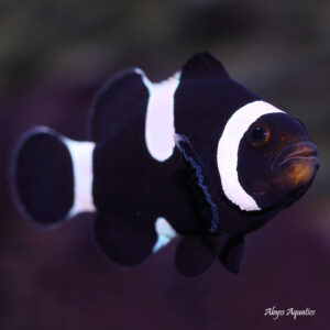 black and white clownfish are adorable variants of ocellaris clowns