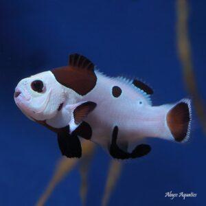 black storm clownfish