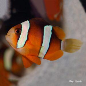 Clarkii Clownfish Pairs are stunning fish.