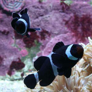 Darwin Clownfish pair are a stunning ocellaris variants.