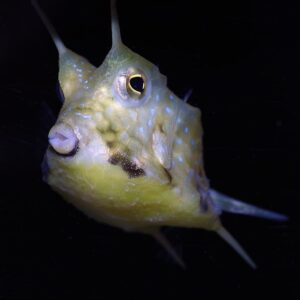 long horn cowfish a fish that darwin would have struggled with