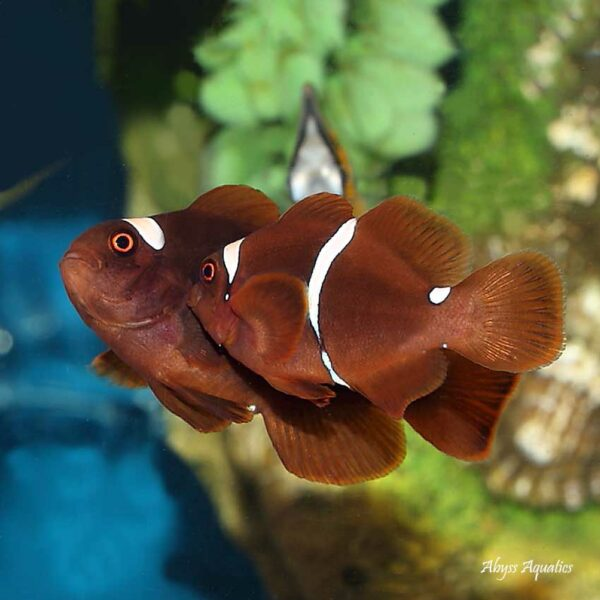 maroon clownfish are adorable chunky fish