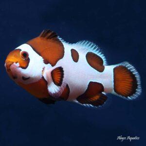 Mocha Storm Clownfish are stunningly beautiful ocellaris variants.