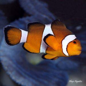 Ocellaris Clownfish are beautiful and iconic marine fish.