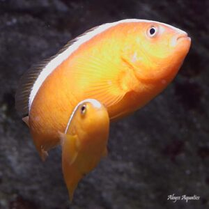 Orange Skunk Clownfish Pairs are absolutely adorable.