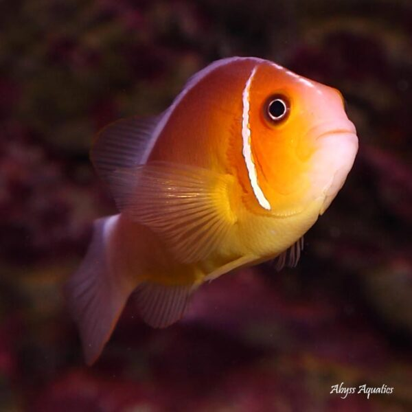 Pink Skunk Clownfish are absolutely adorable.