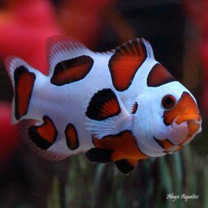 Orange Storm Clownfish are fantastic ocellaris variants.