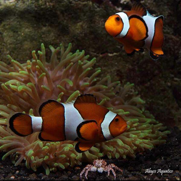 Percula Clownfish are beautiful and iconic marine fish.