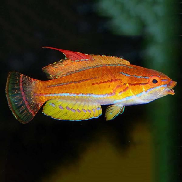 yellowfin Flasher Wrasse