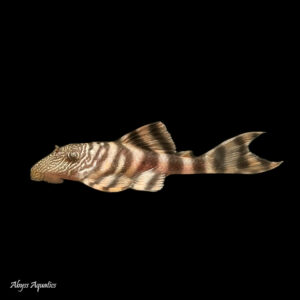 The Iquitos Tiger Pleco L226 has a beautiful orange body with striking markings