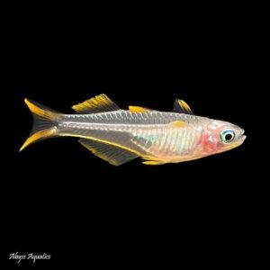 The Blue Eye Forktail Rainbowfish is a stunning little nano species