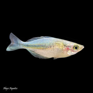 The Blue Rainbowfish is a beautiful species, displaying rich blues ands golds as mature adults