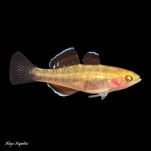 The Empire Gudgeon is a unique and interesting species of fish