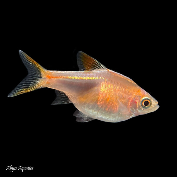 The Gold Harlequin Rasbora is a peaceful shoaling species
