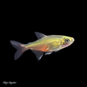 The Green Fire Tetra is a peaceful and beautiful species of fish