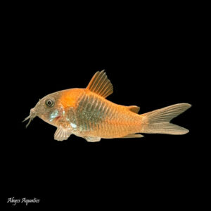 The Orange Venezuelan Cory is one of the most striking looking species of cory to be found