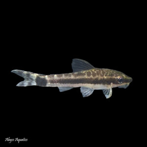 Otocinclus Affinis is a small, algae eating catfish from South America