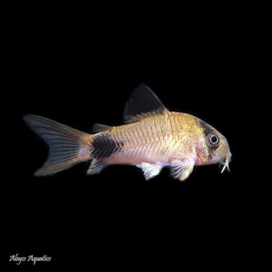 The Panda Corydora is an ever popular and classic addition to an aquarium