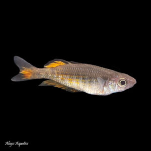 The Parkinson's Rainbowfish is a large and striking species of Rainbowfish