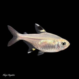 The Pristella tetra is a hardy and peaceful species of fish from South America