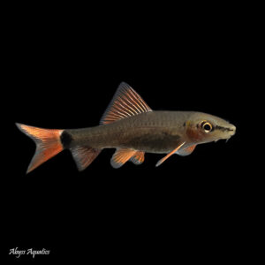 The Rainbow Shark is a large and active fish