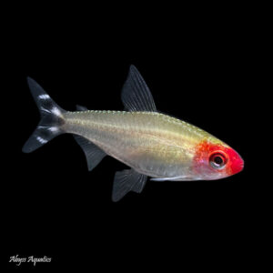 The Rummy Nose Tetra is a striking and classic addition to peaceful community tanks