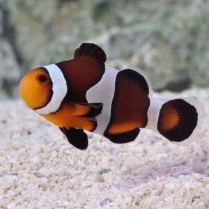 black photon clownfish are beautiful hybrids