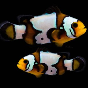 Black Ice Clownfish are absolutely gorgeous looking ocellaris
