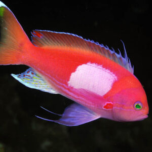 Square Anthias are also known as Square Spot Fairy Basslets