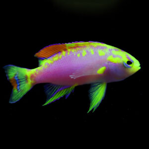 Male Ventralis Anthias are also known as Longfin Anthias.