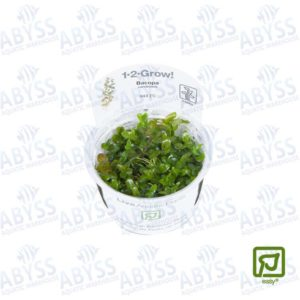 Bacopa caroliniana is an easy and relatively slow growing stem plant available from Tropica in regular pots
