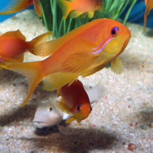 Female Squamipinnis Anthias are also known as Lyretail Anthias.