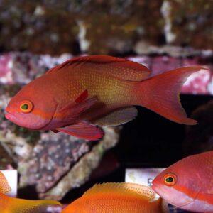 Male Squampinnis Anthias are also known as Lyretail Anthias.