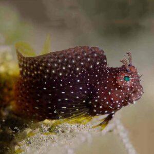 Jewel Algae Blenny