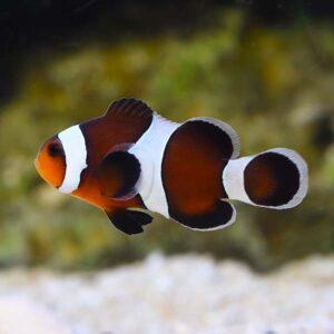 Mocha Clownfish are darker iconic fish
