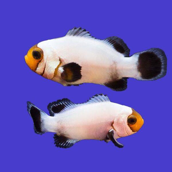 Platinum Clownfish are spectacular looking fish