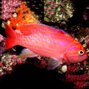 Scribbled Anthias Males are also known as Twin Spot Anthias or Two Spot Anthias