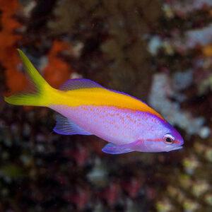 Evansi Anthias are also known as Yellowback Anthias.