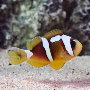 Spotcinctus Clownfish are adorable looking clownfish