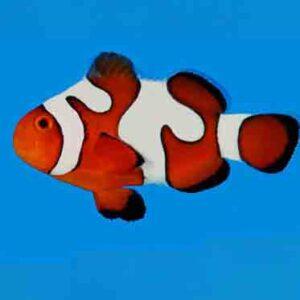 DaVinci Clownfish are amazing fish with eye catching patterns