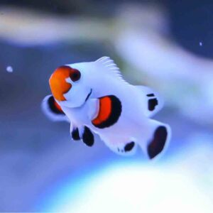 Wyoming White Clownfish are fantastic little fish to keep