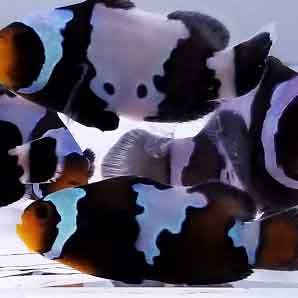 Phantom Clownfish are amazing fish