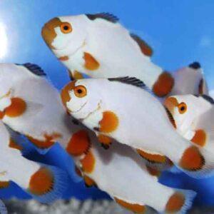 Blizzard clownfish are gorgeous percula variants