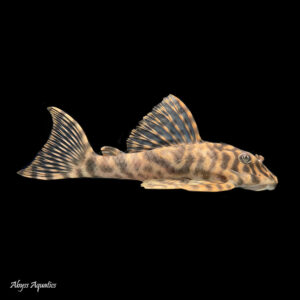 L015 Candy Stripe Pleco is a stunning fish with beautiful patterns