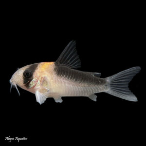 The Adolfoi Corydora is a stunning species with a vibrant orange marking.