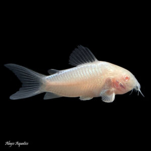 The Albino corydora is a colour variant of the Bronze corydora, and is a peaceful shoaling catfish species