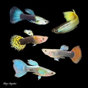 Assorted Guppy Males is a great way to add lots of colour morphs quickly to your tank